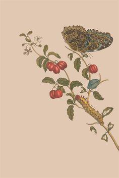smithsonianlibraries:  Original from Metamorphosis insectorum surinamensiumby Maria Sibylla Merian