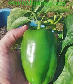 #containergardening #garden #harvest fresh for dinner! #beautiful #bellpeppers #growyourownfood in tubs buckets basins tires anything you van find that will hold soil! #florida still warm ans ! Nothing beats picking #fresh #produce for #healthy #family #meals #gethealthy #NourishHealLive Join the #realfood #revolution #nourish #heal #live healthy wellness