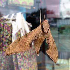 Streaked Sphinx Moth #LKG Photography