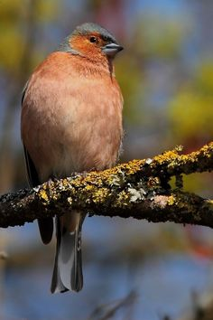 """500px / Photo """"common chaffinch"""" by wise photographie"""