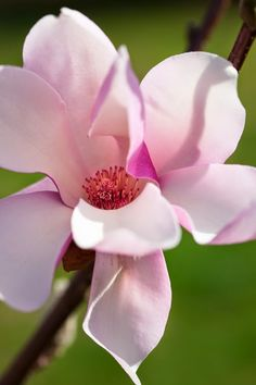 Magnolia~ I had one of these in my yard as a child bought a house with a magnolia tree in it in the back yard weird Flowers Nature, Exotic Flowers, Amazing Flowers, My Flower, Pink Flowers, Beautiful Flowers, Cactus Flower, Yellow Roses, Vintage Flowers