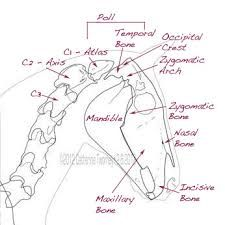 Surgical Instrument Specialists Equine Dental Chart for