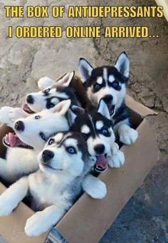 Here is a package delivery like no other: a bunch of wide-eyed Husky puppies ready to start exploring everything in sight! Husky Humor, Funny Husky Meme, Dog Quotes Funny, Dog Memes, Funny Dogs, Baby Animals, Funny Animals, Cute Animals, Funny Animal Pictures