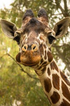 """Giraffe"" by Dima Shetinin"