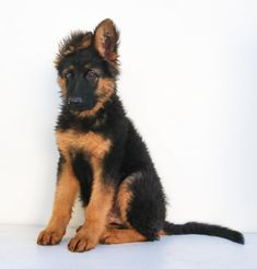 German Shepherd Cute Animal Pictures, Dog Pictures, German Shepherd Breeders, German Shepherds, Buy A Dog, Guide Dog, Dog Beach, Funny Animal Videos, Dog Lovers