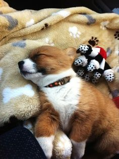 """Corgi puppy - """"Love is love, whether it goes on two legs or four."""""""