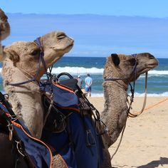 HEADS UP: last chance for camel rides along Eastern Beach in Lakes Entrance today (Sunday) Monday then Friday to Sunday (weather permitting). Click link in profile for more details @australiancamels  #camels #beachweather #camelrides #lakesentrancecamelrides #easternbeach #holidays #whattodolakesentrance #loveeastgippy #eastgippsland by australiancamels http://ift.tt/1JtS0vo