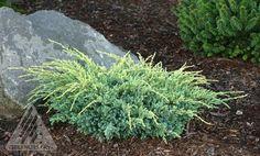 Juniperus squamata ' Holger ' Dwarf Flaky Bark Juniper - Kigi Nursery