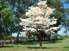 A florada dos Ipês Brancos