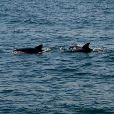 Sail away and see the dolphins! #SailWildHearts #vacation #fun