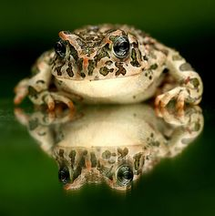 Toad, photo by Sandor Bernath