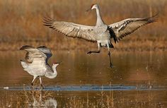 Dancing Sandhill Cranes, Bosque del Apache NWR, New Mexico, photo by Jim Neiger
