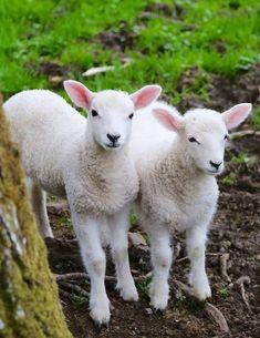 Spring Lambs | Northumberland, England