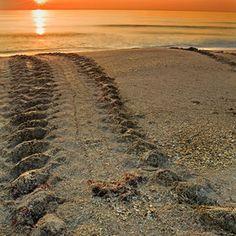 Turtle tracks, Melbourne Beach, FL