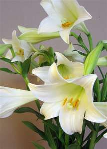 Easter Lilly aka Casablanca Lily... If you receive one for Easter,after it finishes blooming, plant it in your garden for a gift that keeps giving!