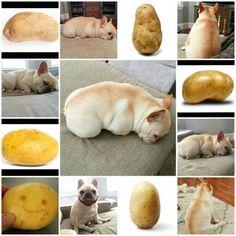 Yep, my French Bulldog is a couch potato!