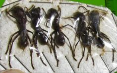 Lot of 5 Amazing Bullet Ants Paraponera clavata FAST SHIP FROM USA
