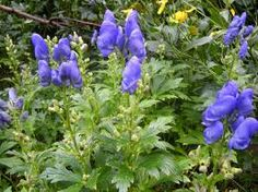 Aconitum Carmichaelii Arendsii. George Arends The Daily Telegraph, inspired by Piet Oudolf, promoted what it called the 'Dutch Wave' style of gardening in the UK  and named and sold the top ten plants for it back in 2010: