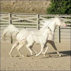 Cremello horses - beautiful, but I bet they're so difficult to maintain