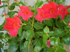 Dipladenia splendes y Pandorea jasminoides, Trepadoras tropicales
