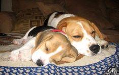 Napping Beagle pals