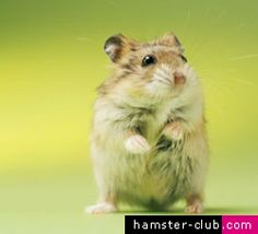 This reminds me of our hamster curly...RIP curly curls