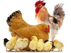 Farm Animals, Funny Animals, Cartoon Chicken, Chicken Bird, Baby Chickens, Hooray For Hollywood, Hens And Chicks, Chicken Breeds, Cute Little Animals