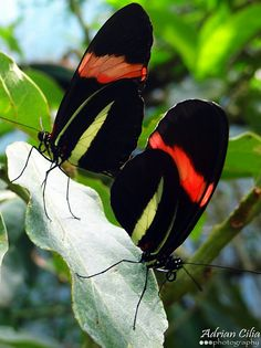 The Postman Butterfly, Common Postman, or simply Postman is one of the heliconiine butterflies found from Mexico to northern South America. Wikipedia Scientific name: Heliconius melpomene