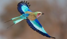 Mindblowing Planet Earth: Lilac Breasted Roller is Considered The Most Attractive Birds