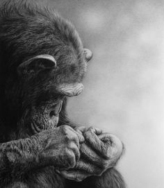 """""""Fascination"""" chimp pencil drawing by Julie Rhodes (prints available at www.julierhodes.com)"""