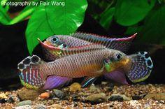 Pelvicachromis kribensis 'Bandewouri'