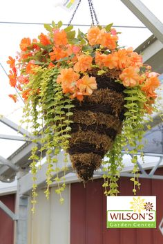Peach colored begonias in hanging basket