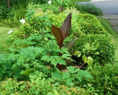 The Front Walk is full of foliage and flowers buds at the moment. It should be in bloom again by August with pink Japanese anemones, Dahila 'Jean Marie', which has a purple and white flower, and more white cosmos. Perhaps even a few orange Canna flowers will be thrown in! Zap! ~WMG blog