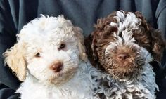 lagotto pups/ I want the brown one....