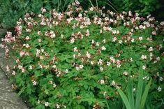 Image result for geranium macrorrhizum