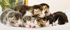 Katzenwissen für alle! Katzen bringen im Durchschnitt neun Kätzchen in einem Wurf zur Welt. Der größte Wurf waren 19 Kätzchen, von denen 15 über - lebt haben.