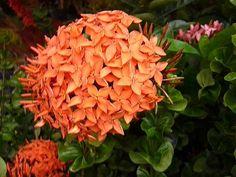 "flowers grown in the Philippines ""Santan"""