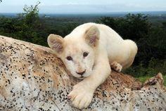 Lion blanc.