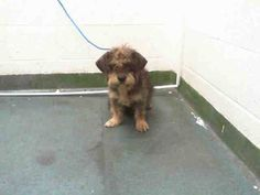 GLEN (A1646356) I am a female gray Terrier.  The shelter staff think I am about 3 years old.  I was found as a stray and I may be available for adoption on 09/26/2014. — hier: Miami Dade County Animal Services. https://www.facebook.com/urgentdogsofmiami/photos/pb.191859757515102.-2207520000.1411342786./843525545681850/?type=3&theater