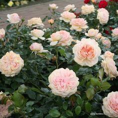 kordes+roses | ansichten
