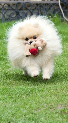 Marvelous Pomeranian Does Your Dog Measure Up and Does It Matter Characteristics. All About Pomeranian Does Your Dog Measure Up and Does It Matter Characteristics. Dog Training School, Training Your Dog, Training Classes, Cute Puppies, Cute Dogs, Dogs And Puppies, Doggies, Baby Animals, Animals And Pets