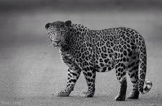 Wonderful leopard photo by Shaaz Jung