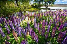 Canvas Print   Lupins, Lake Alexandrina, Mackenzie Country : New Zealand : Sisson