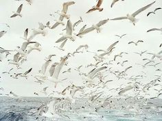 Gulls on the wing.