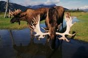 Anchorage, Alaska, a place to find monster bull moose Alaska Cruise, Alaska Travel, Travel Usa, Bull Moose, Moose Art, Moose Pictures, Animal Pictures, Alaska The Last Frontier, Alaska Adventures