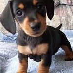 Dachshund Beagle Puppy