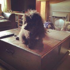 I can see lots from up here  I'm so fluffy. #primrosethedog #primrose #pom #puppypal #puppy #puppylove #Pomeranian #Pomeranianlove #pomsofinstergram #maltese #mymalti #mydogisthecuteone #maltipom #Adorable #cuteness #cutnessoverload #cutie #mischief #dog #doggy #dogs_of_instagram #dogoftheday #imsofluffy #ilovemydog #itssofluffy #intagramdogs #intagrampets #instagrampuppy #ilovemyfurbaby #instagrampuppy #intagrammaltipom