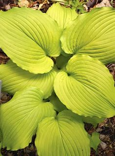 Hosta 'Dancing Queen' Plant Delights Nursery