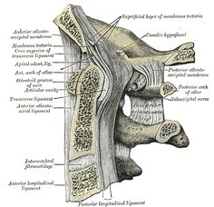 Median sagittal section through the occipital bone and first three cervical vertebræ, showing ligamentous attachments Greys Anatomy Book, Atlas Anatomy, Greys Anatomy Online, Grays Anatomy, Anatomy Of The Neck, Face Anatomy, Anatomy Art, Human Anatomy, Cervical Vertebrae