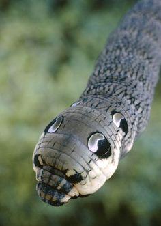 Caterpillars' self-defence mimicry and camouflage. Elephant hawkmoth caterpillar (Deilephila elpenor)
